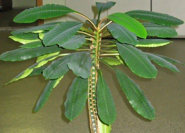 Растение эуфорбия