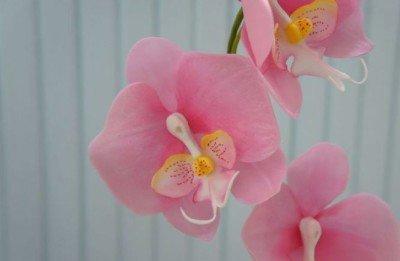 Розовая орхидея фаленопсис удобрение