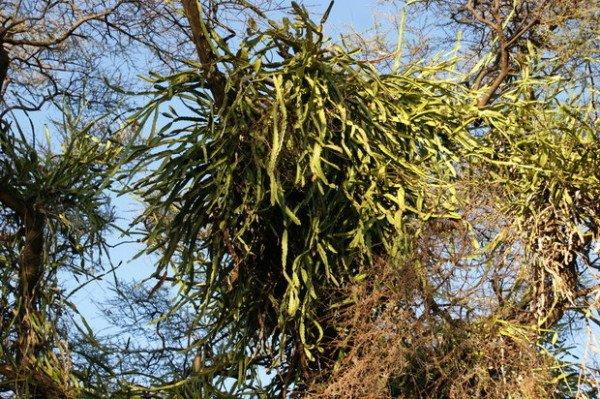 Лесные кактусы фото и названия