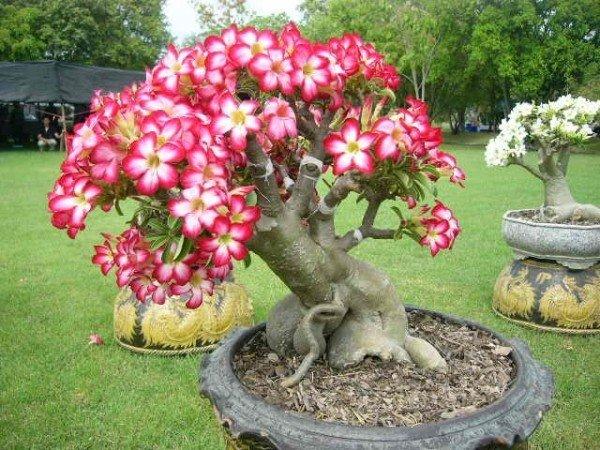 Растение адениум