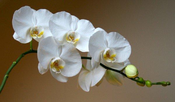 Как правильно ухаживать за белой орхидеей Фаленопсис?