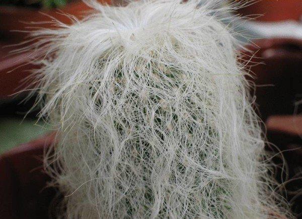 Пустынный кактус Цефалоцереус