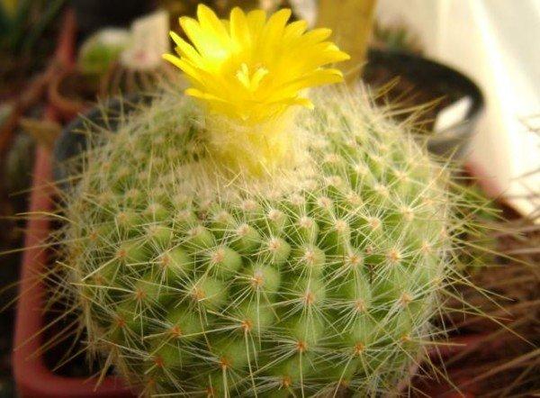 Пустынный кактус Пародия