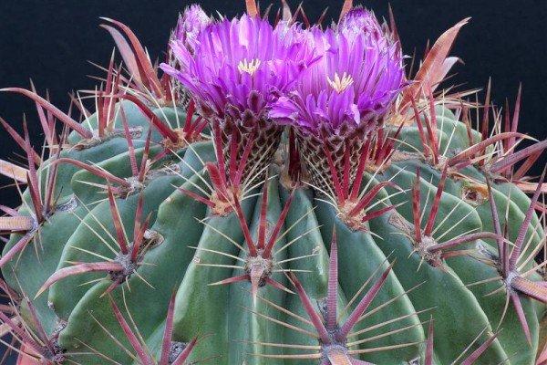 Пустынный кактус Ферокактус