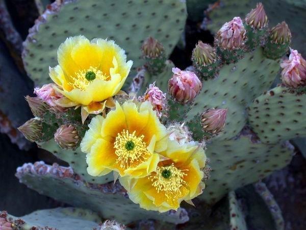 Пустынный кактус Опунции