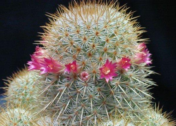 Пустынный кактус Маммилярия