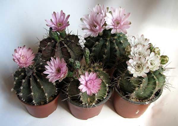 Пустынный кактус Гимнокалициум