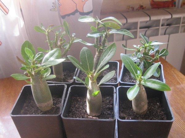 Adenium obesum вирощування з насіння
