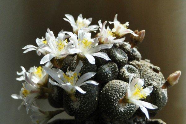 Пустынный кактус Блоссфельдия