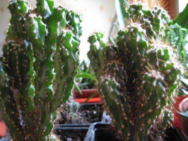 Пустынный кактус Цереус