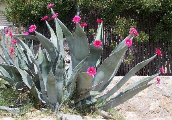 Агава растение фото