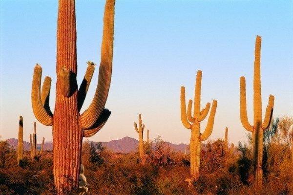 Пустынный кактус фото