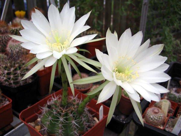 Пустынный кактус Эхинопсис
