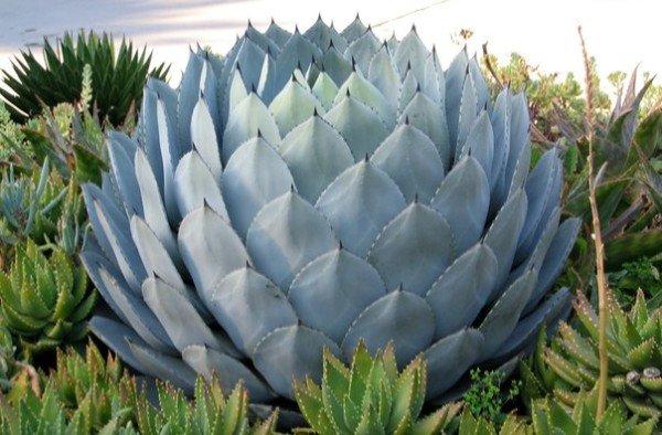 Агава рослина фото