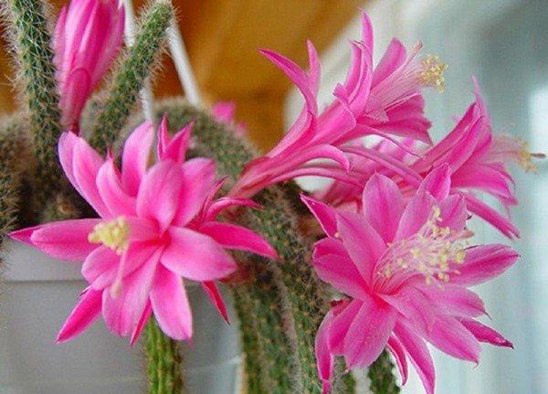 Пустынный кактус Апорокактус