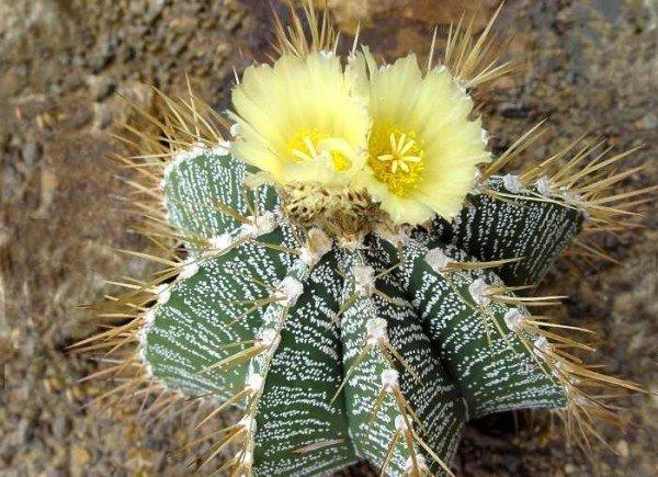 Пустынный кактус Астрофитум