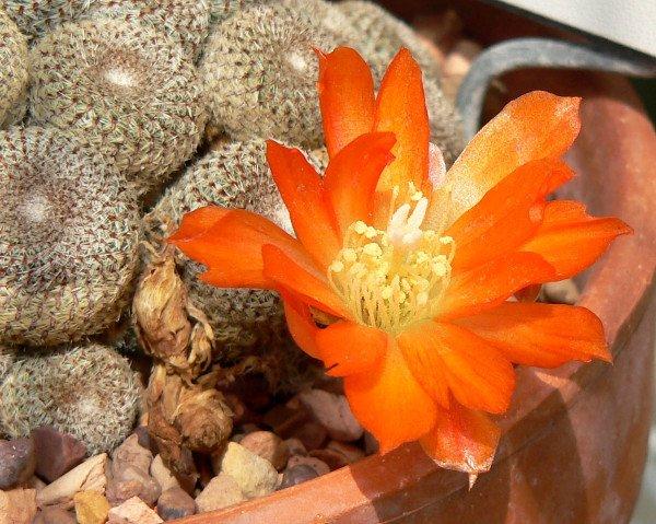 Пустынный кактус Ребуция