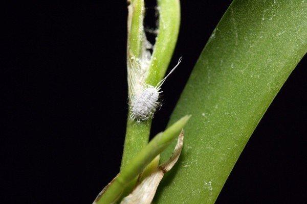 В орхидее завелись белые жучки