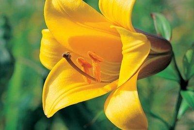 """Трубчатые лилии """"Golden Splendour"""""""