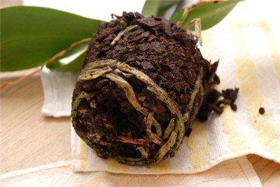 У орхидеи сгнили корни как спасти