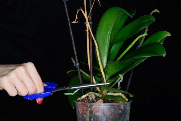 Орхидея отцвела, что делать дальше? Как ухаживать и как обрезать после цветения?