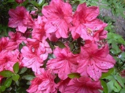 Азалия индийская: фото, уход в домашних условия, особенности цветения