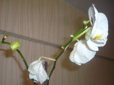 Опадают цветки у орхидеи фаленопсис