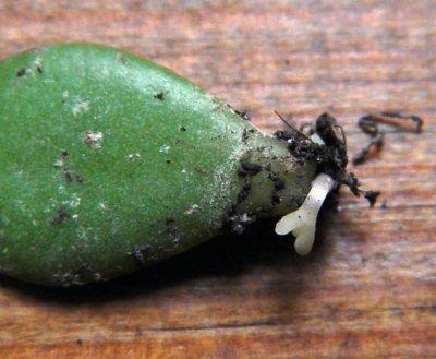 Размножение толстянки листьями