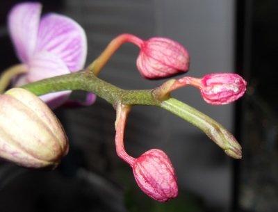 Почему сохнут бутоны у орхидеи?