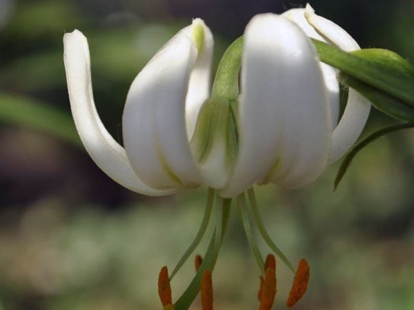 Лилия родина растения