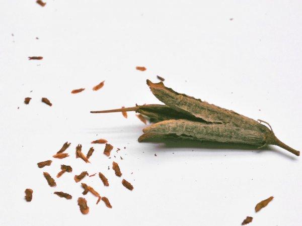 Рододендрон размножение черенками видео