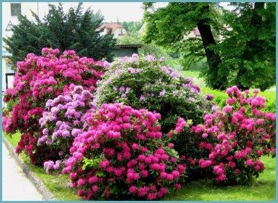 Рододендрон посадка и уход в открытом грунте