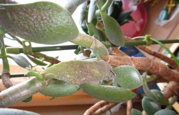 Денежное дерево чернеют листья