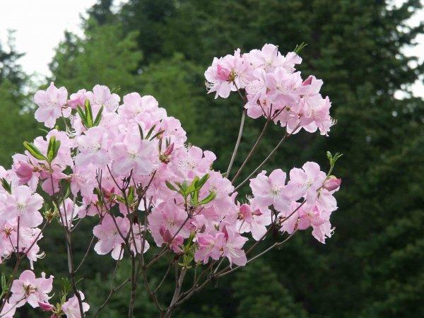 Рододендрон шлиппенбаха выращивание из семян