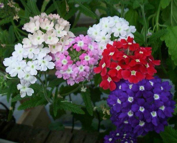 Вербена фото цветов