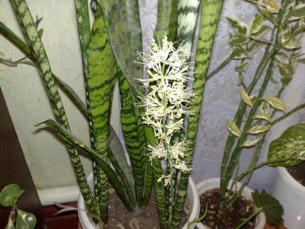 Растение сансевьера фото