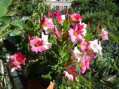 Дипладения: уход в домашних условиях и выращивание