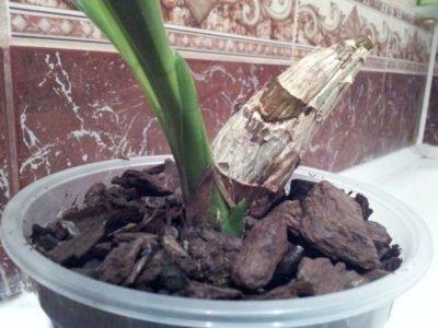 Посадка орхидеи луковицей