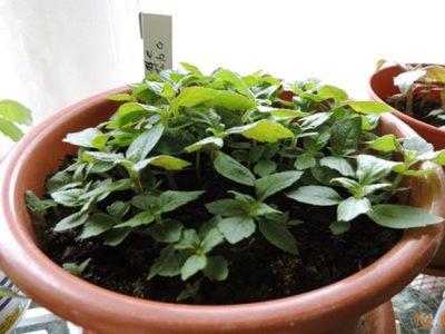 Выращивание и размножение