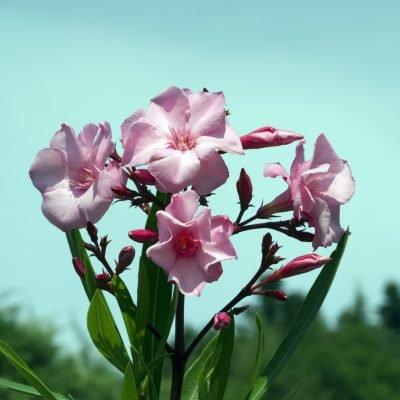 Цветы розового олеандра