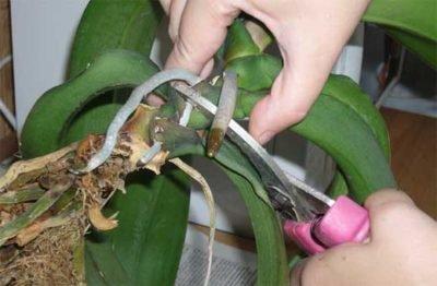 Когда нужно пересаживать орхидею Фаленопсис?