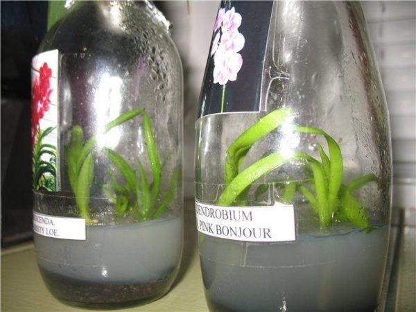 Семена орхидеи на фото