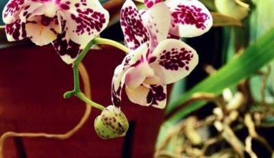 Можно ли сажать орхидею в керамический горшок?
