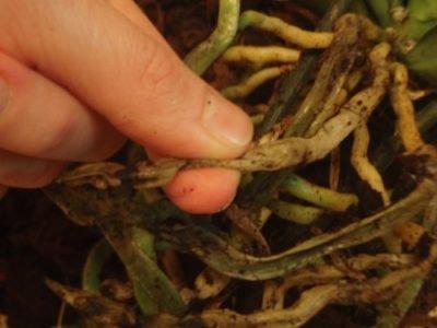 Какие корни нужно обрезать?