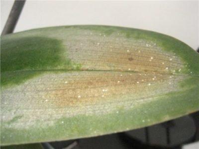 Почему у орхидеи вялые листья что делать